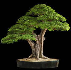 Lighthouse Bonsai Society Bonsai In Boca Raton Fl